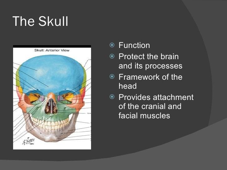 The Cranial Bones
