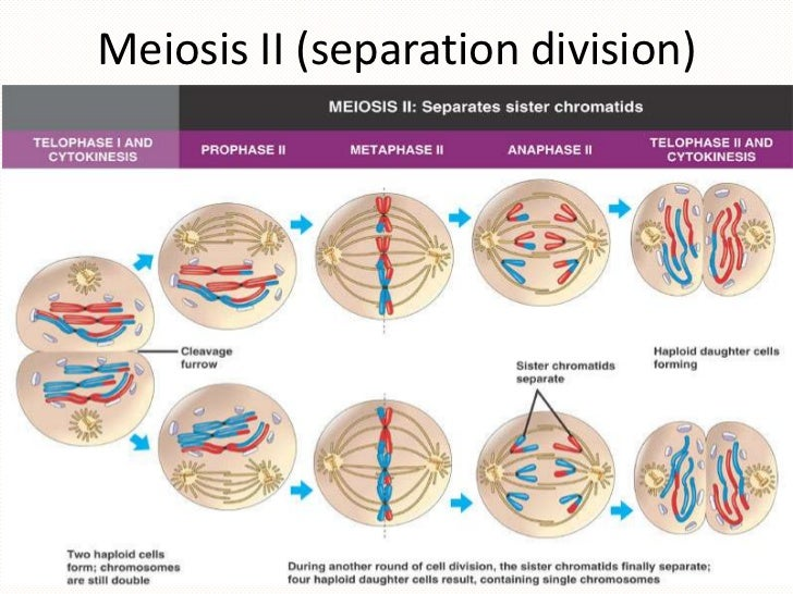 The cytoskeletal system cell cycle and dnaproject meiosis ii separation division 30 ccuart Image collections