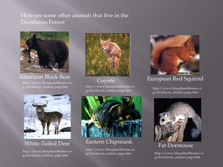 Animals that live in the deciduous forest - photo#37