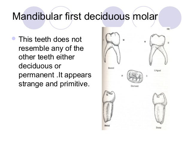 07 The Deciduous Teeth Dentition