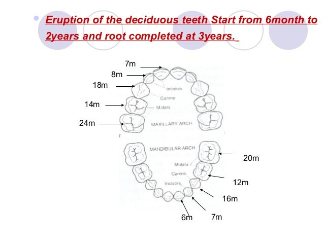 07. The Deciduous Teeth - Dentition