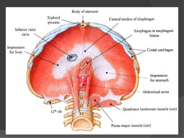 The diaphragm anatomy & embryology