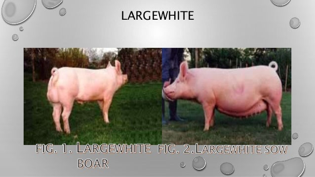 The Different Breeds Of Swine