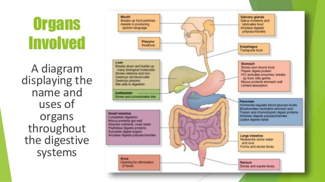 The digestive system organs ccuart Image collections