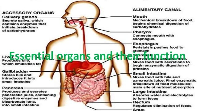 Digestive System Organs Function Stream Photo Image With Digestive ...
