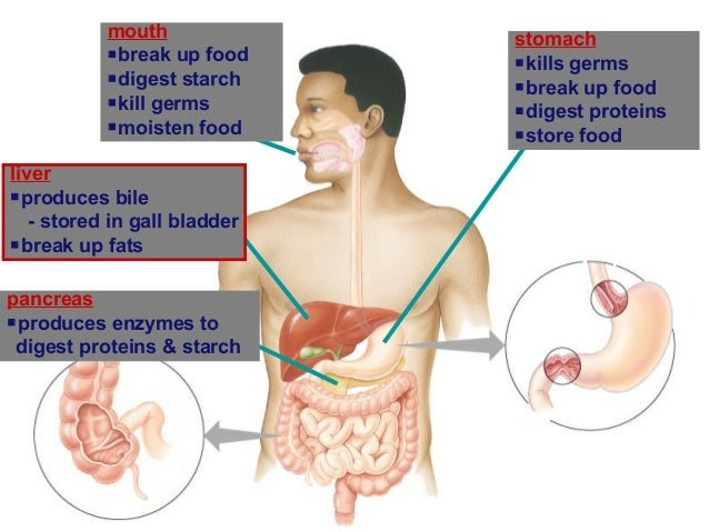 digestion and important functions Gut health digestive system as a second brain  extremely important to your overall well-being largely responsible for the critical functions of the body's .