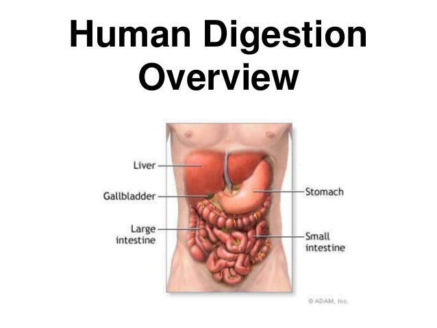 Human Digestion  Overview