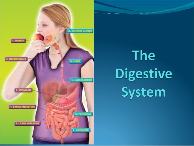 Introduction The digestive system is used for breaking down food into nutrients which then pass into the circulatory syst...