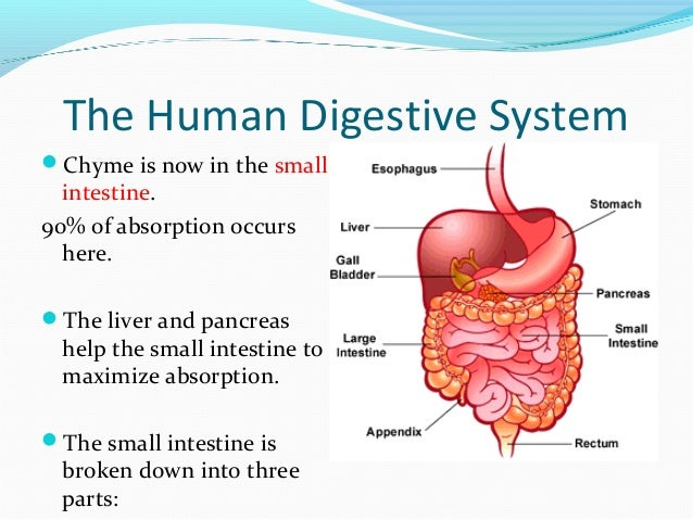 The digestive system ppt