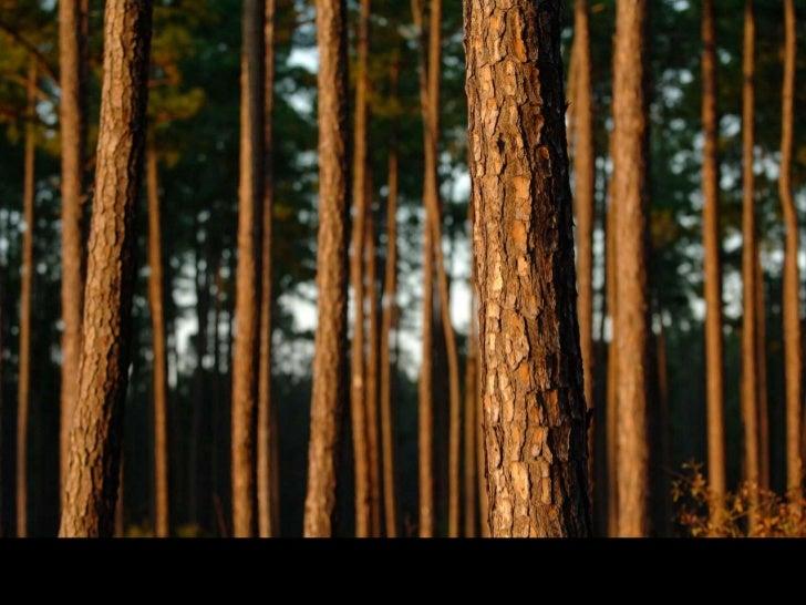 GM Eucalyptus Trees<br />