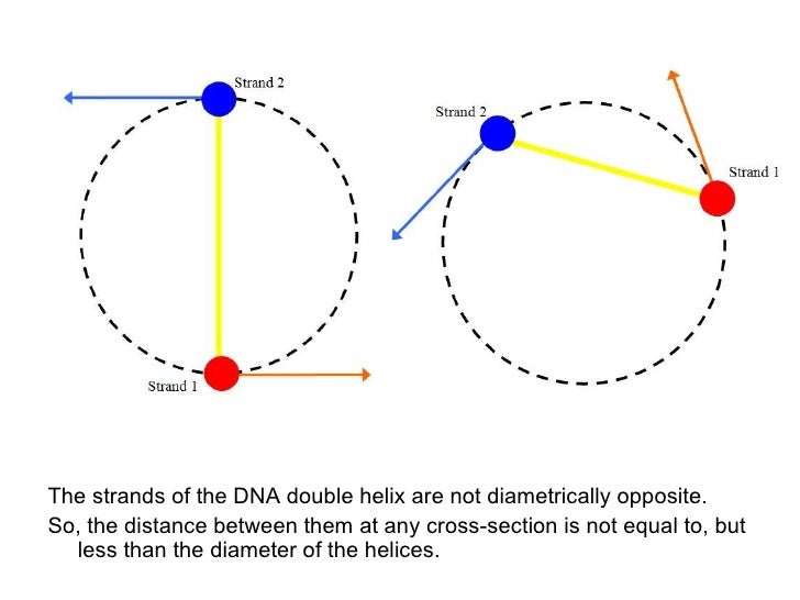 The DNA Double Helix Slide 3