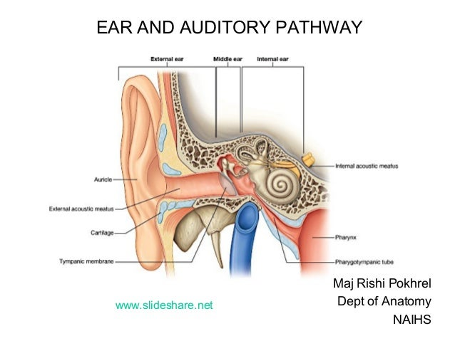 EAR AND AUDITORY PATHWAY Maj Rishi Pokhrel Dept of Anatomy NAIHS www.slideshare.net