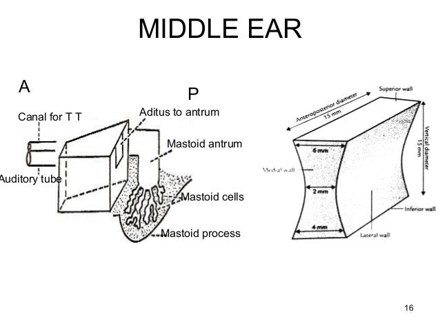 the ear  auditory pathway and olfactory pathway