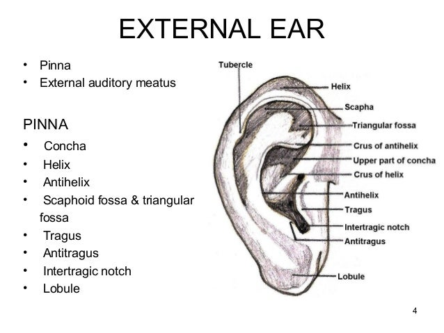 search results for  u201cdiagram of the ear for kids