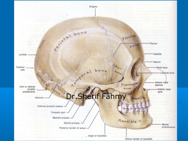 Anatomy of ear and neck