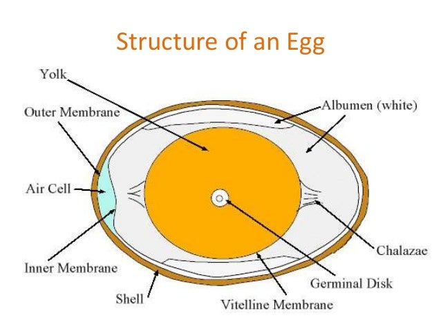 Diagram Of Internal Structure Of An Egg Electrical Work Wiring
