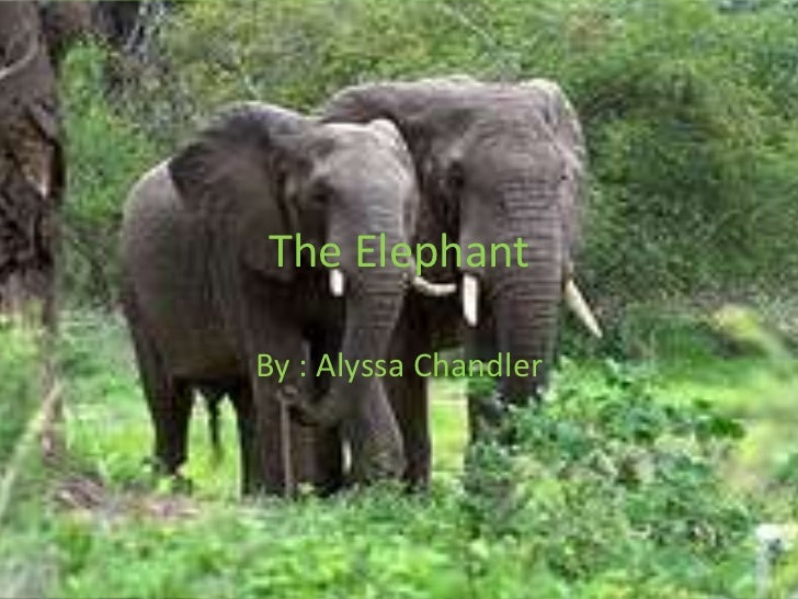 The Elephant<br />By : Alyssa Chandler<br />