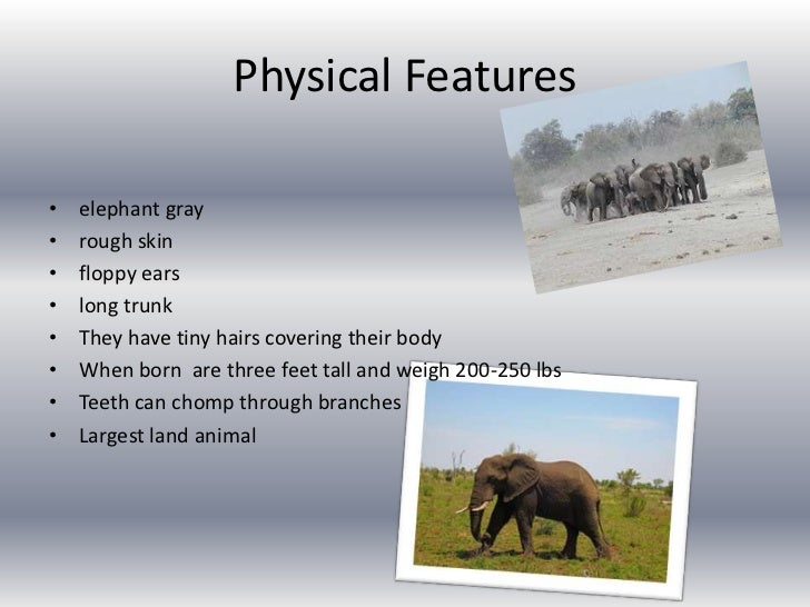 Physical Features <br />elephant gray<br />rough skin<br />floppy ears<br />long trunk<br />They have tiny hairs covering ...