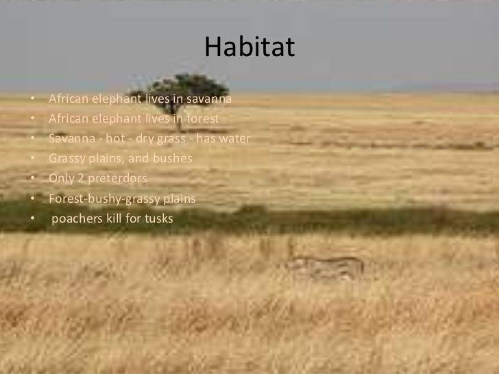 Habitat <br />African elephant lives in savanna<br />African elephant lives in forest <br />Savanna - hot - dry grass - ha...