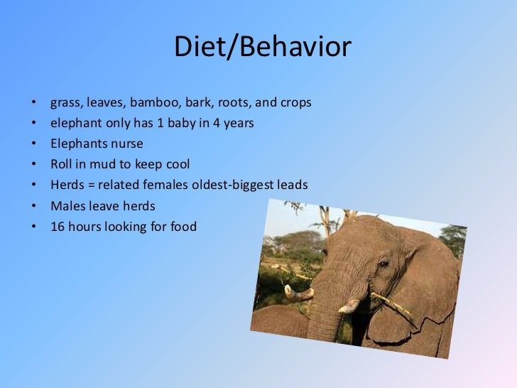 Diet/Behavior<br />grass, leaves, bamboo, bark, roots, and crops<br />elephant only has 1 baby in 4 years<br />Elephants n...