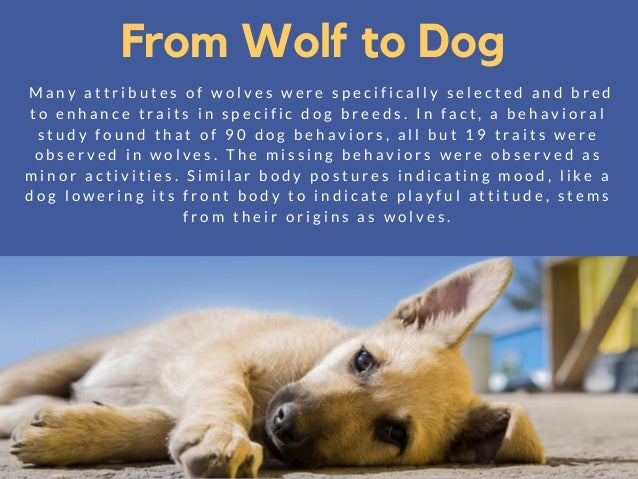 Genetic Studies Show That Dogs Evolved From Wolves