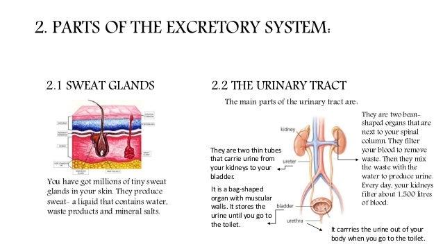 the excretory system power point, Cephalic Vein