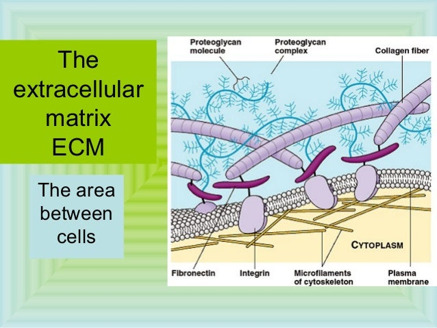The extracellular matrix ECM The area between cells