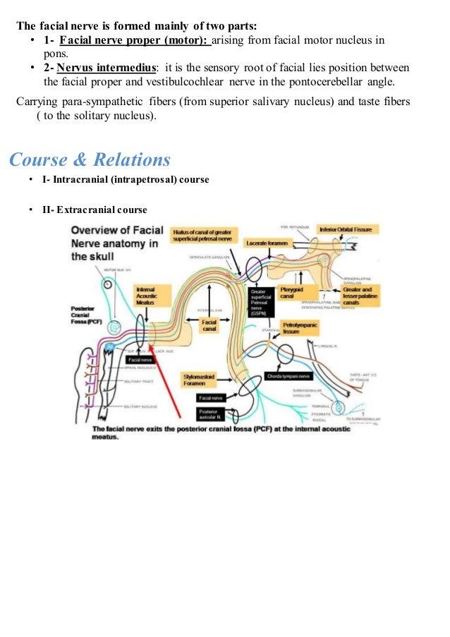 facial nerve (7th cranial nerve)