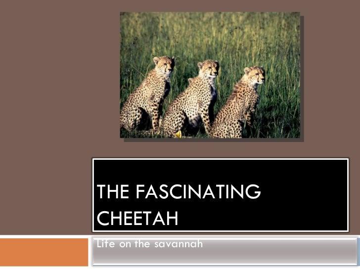 THE FASCINATING CHEETAH Life on the savannah