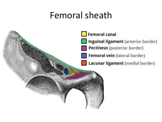 The femoral canal