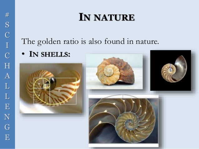 # S C I C H A L L E N G E IN NATURE The golden ratio is also found in nature. • IN SHELLS: