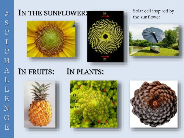 # S C I C H A L L E N G E IN THE SUNFLOWER: IN FRUITS: IN PLANTS: Solar cell inspired by the sunflower: