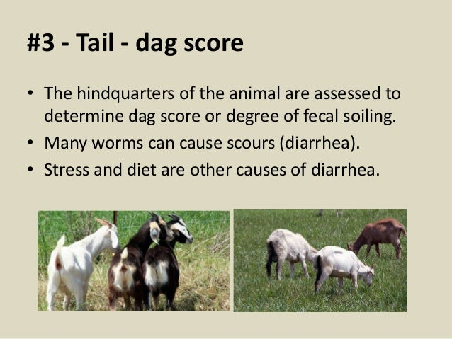 What are dags? • Dried feces left dangling on the wool on a sheep's rear end.