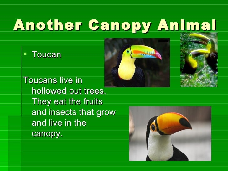 10 Another Canopy Animal ToucanToucans