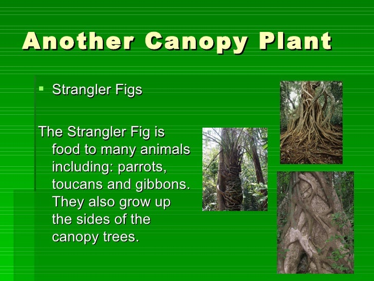 12 Another Canopy Plant Strangler Figs The
