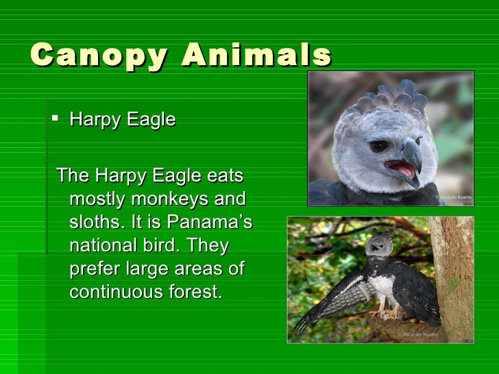 Canopy Animals? ...  sc 1 st  SlideShare & The four layers of the amazon rainforest emmas project2