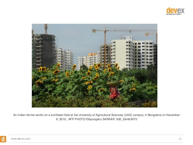An Indian farmer works on a sunflower field at the University of Agricultural Sciences (UAS) campus, in Bangalore on Novem...