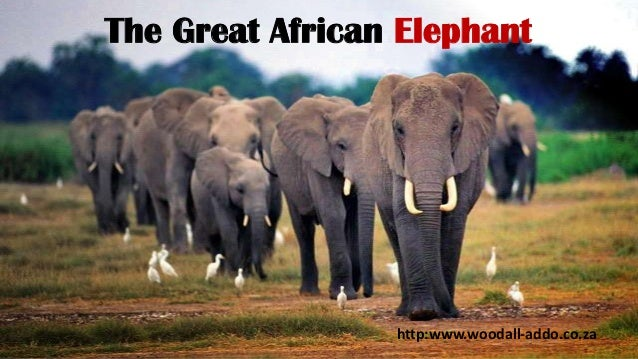 The Great African Elephant  http:www.woodall-addo.co.za
