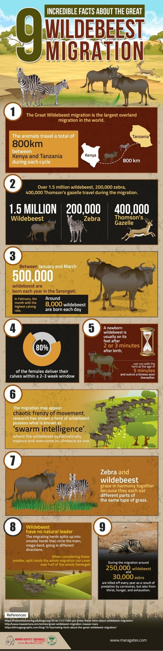 The great masai mara wildebeest migration