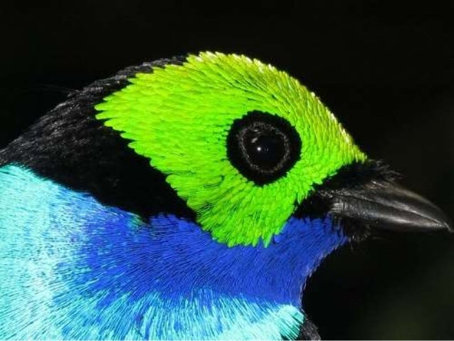 "The Paradise Tanager is the quintessential multicolored neo- tropical bird and is more commonly known as the ""seven-colore..."