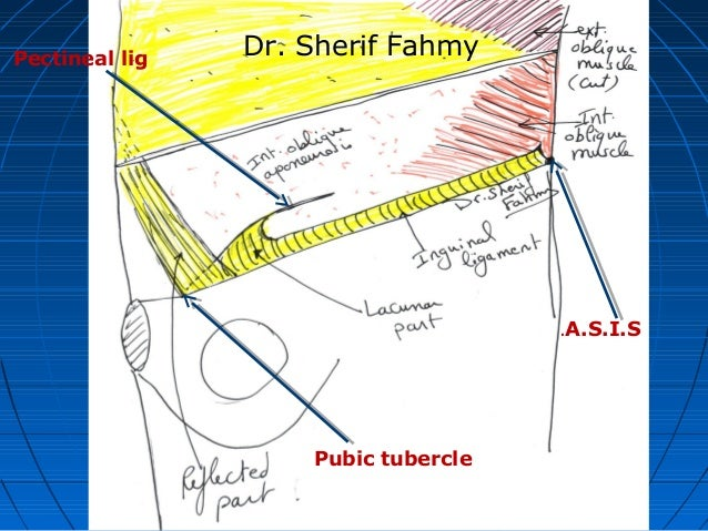 The Groin Inguinal Region Anatomy Of The Abdomen