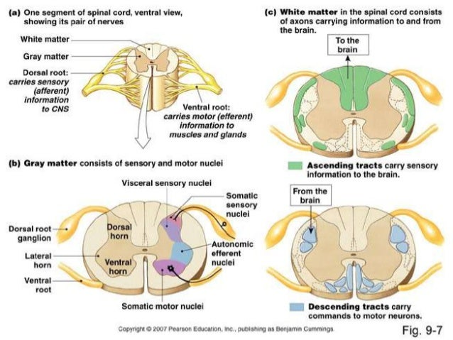 The Gross Anatomy Of Spinal Cord