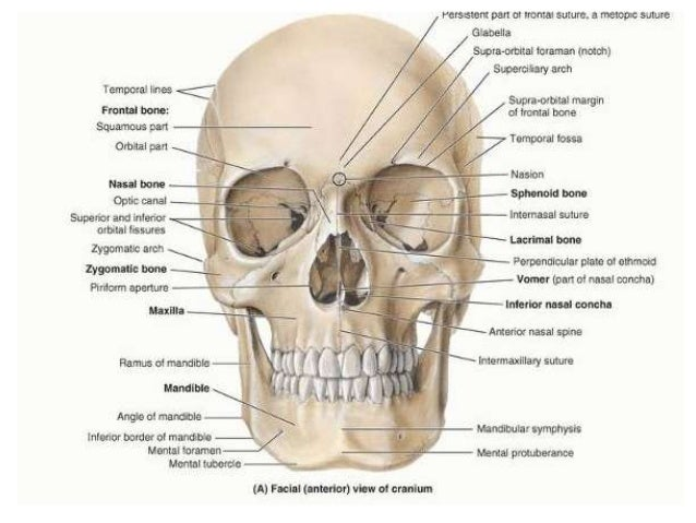 The gross anatomy of the head and neck lecture 3