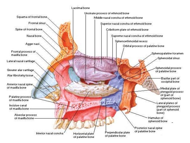 Gross anatomy head and neck
