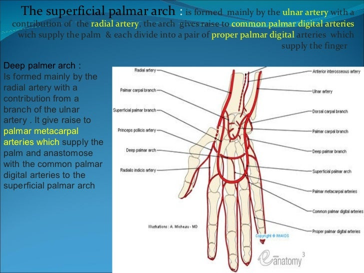 Digital artery anatomy