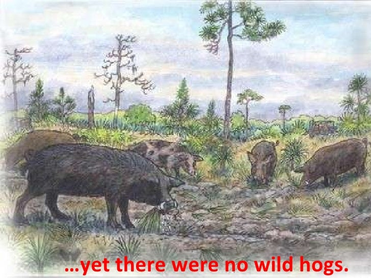 … yet there were no wild hogs.