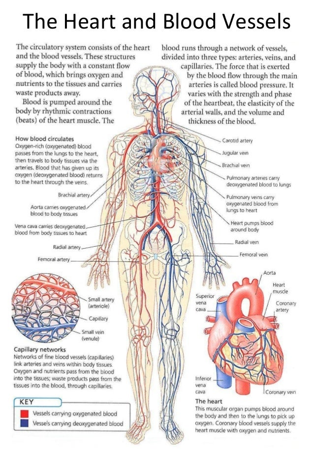 the-heart-and-blood-vessels-1-638.jpg?cb=1358863844
