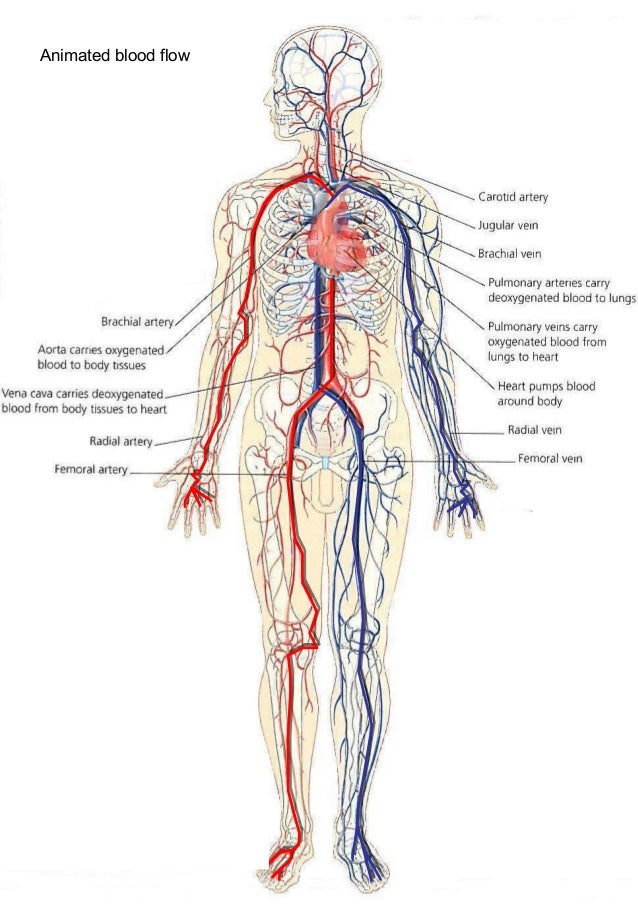 Blood Vessel Anatomy Diagram Image collections - human body anatomy