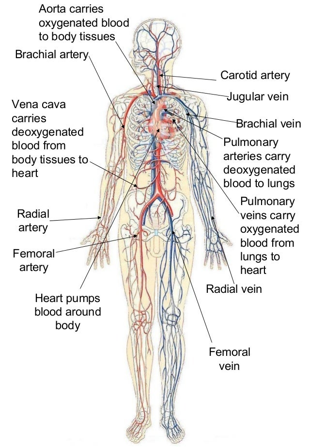 The heart and blood vessels