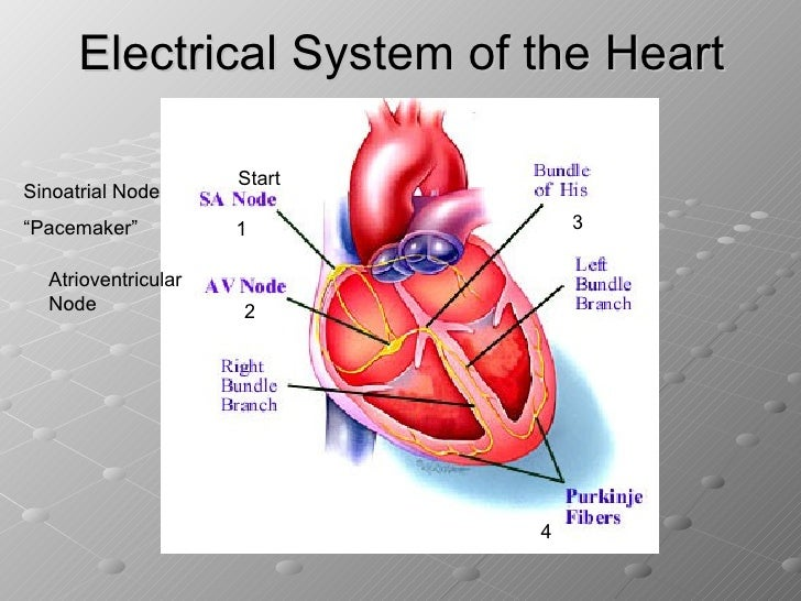 The Heart And Cardiac Cycle